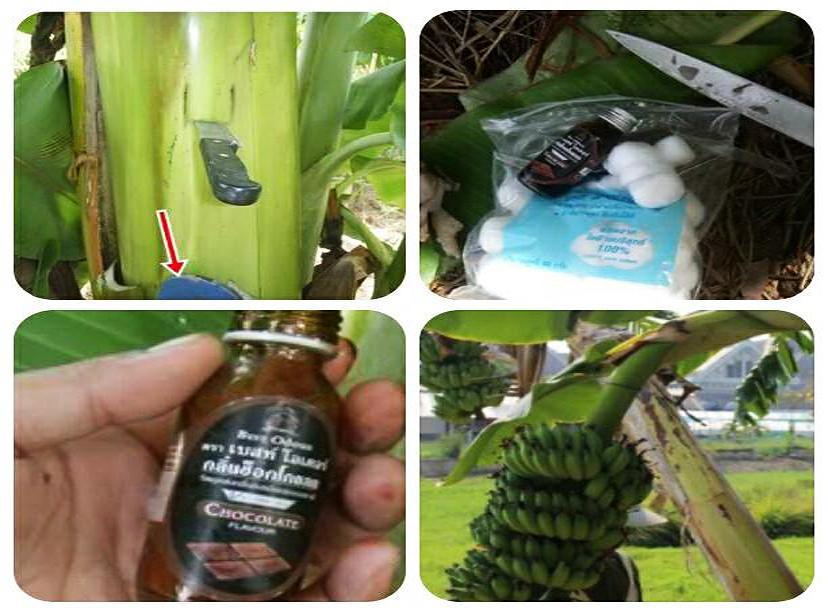 กล้วย_ฟาร์มไทยแลนด์