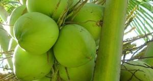 วิธีการปลูกมะพร้าวอ่อน
