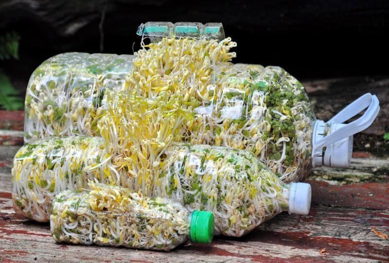 วิธีการเพาะถั่วงอกในขวดพลาสติก