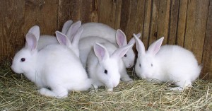 เลี้ยงกระต่าย