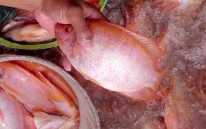 ปลาทับทิม_ซีพี