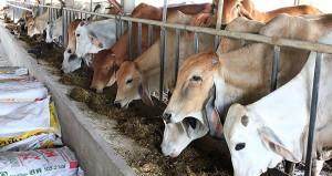 วัวขุนโพนยางคำ