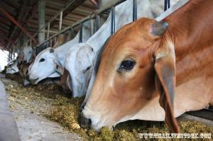 วัวโพนยางคำ