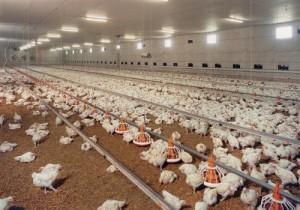 ผลิตภัณฑ์เนื้อไก่ปลอดภัยมั่นใจจากบริษัทสหฟาร์ม