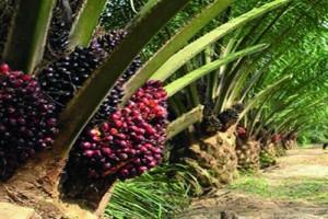 รณรงค์เกษตรกับโครงการแจกต้นปาล์มพันธุ์ดีให้ 5 จังหวัดภาคใต้
