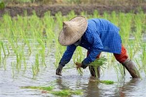 ส่งเสริมประสิทธิภาพการปลูกข้าวหอมมะลิอินทรีย์ให้ชาวนาอำนาจเจริญ