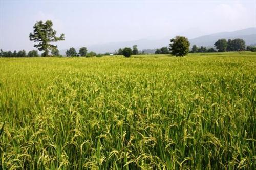 """""""ศูนย์ข้าวชุมชน"""" กระจายเมล็ดพันธุ์ข้าวที่ดีสู่เกษตรกรไทย"""