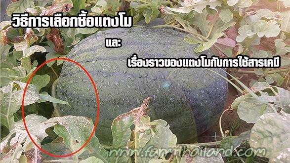 วิธีการเลือกซื้อแตงโม