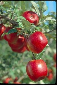 เเอปเปิ้ลเเดง